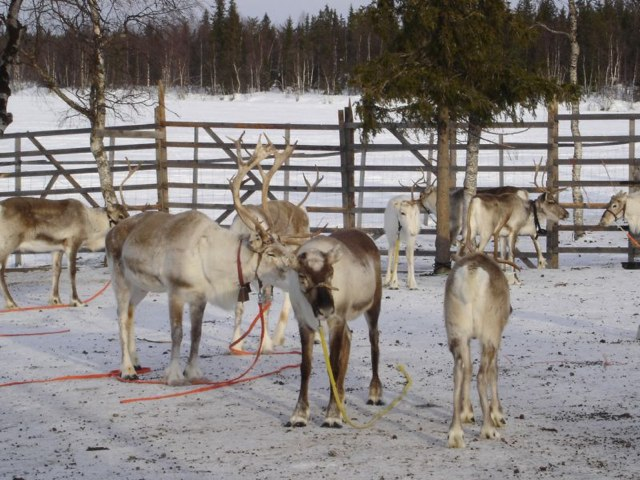 Reindeer on GlobalGrasshopper.com