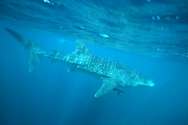 A close diving experience with a whale shark, Western Australia Global Grasshopper