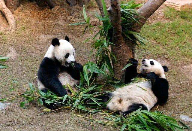 Pandas at Ocean Park, Hong Kong on GlobalGrasshopper.com ©2009