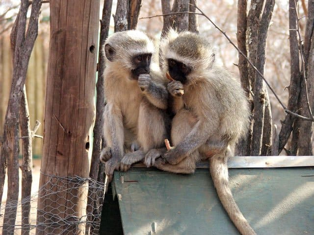 The Vervet Monkey Sanctuary on GlobalGrasshopper.com