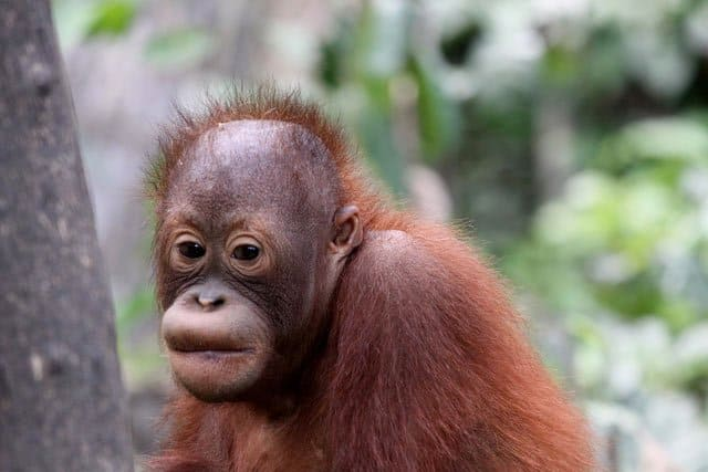 Sepolik Orangutan Sanctuary on GlobalGrasshopper.com