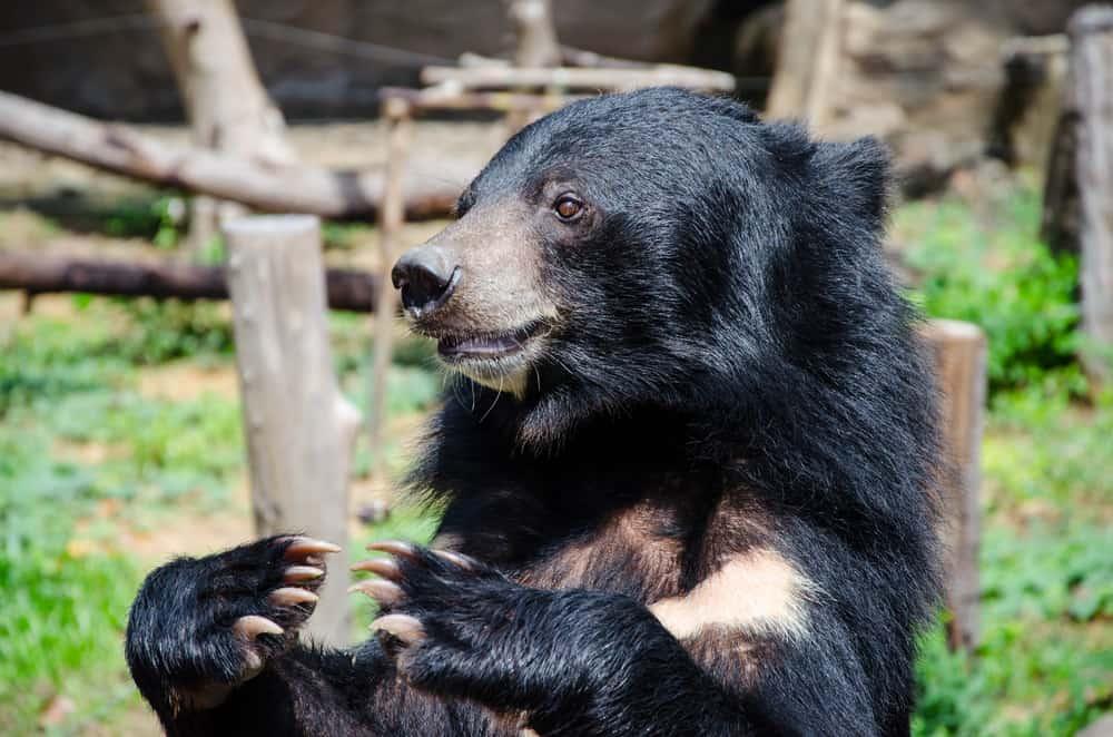 Moon Bear Rescue China