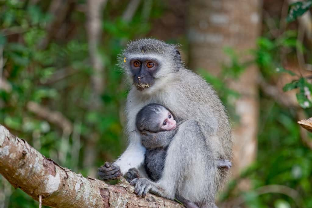 Vervet Monkey Foundation, South Africa