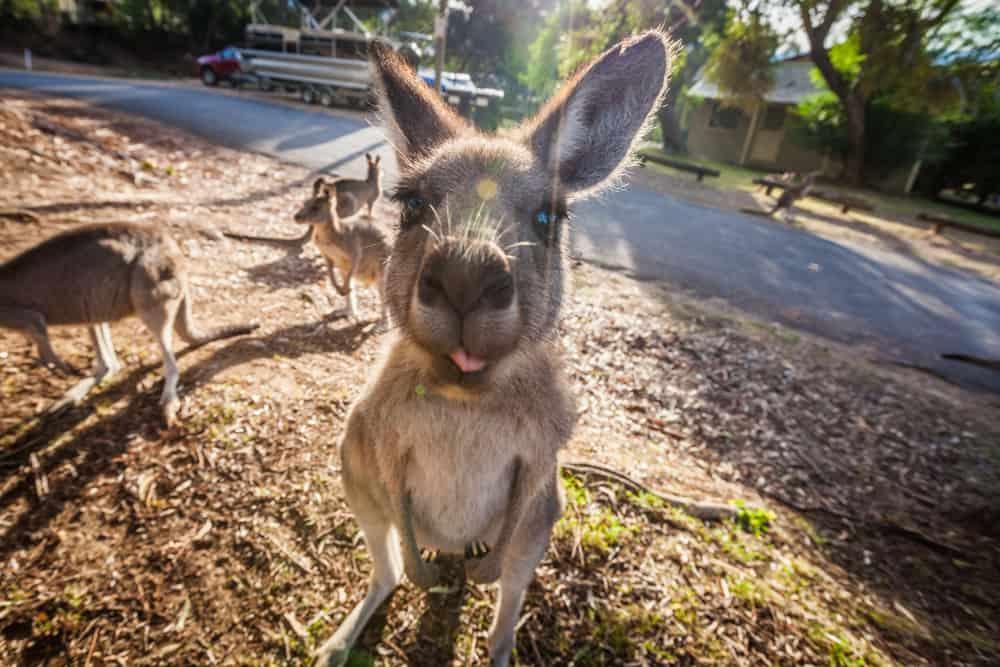 Cute Kangaroos