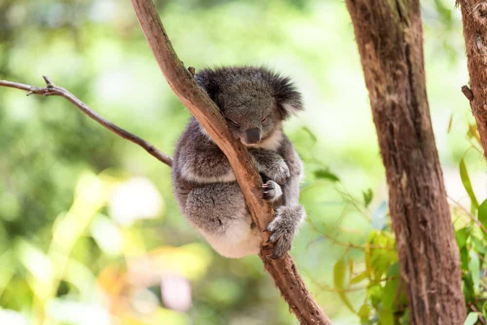 Cute Koala Australia