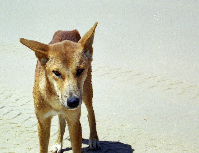 Australian animals, Dingo on GlobalGrasshopper.com