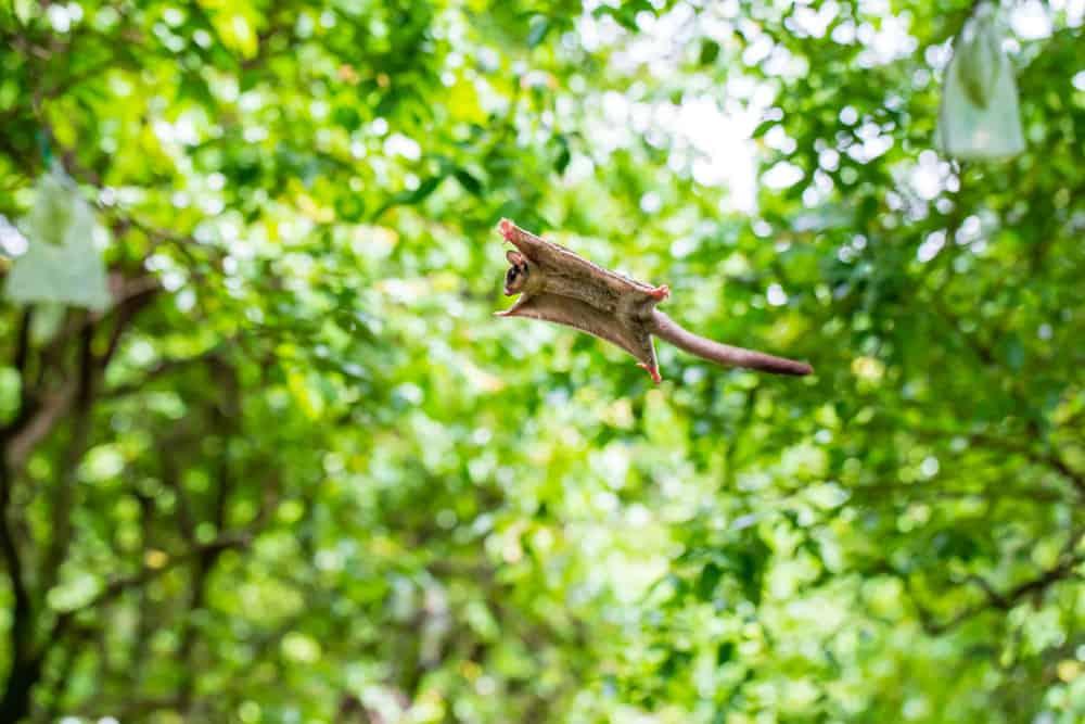 Flying Sugar Glider