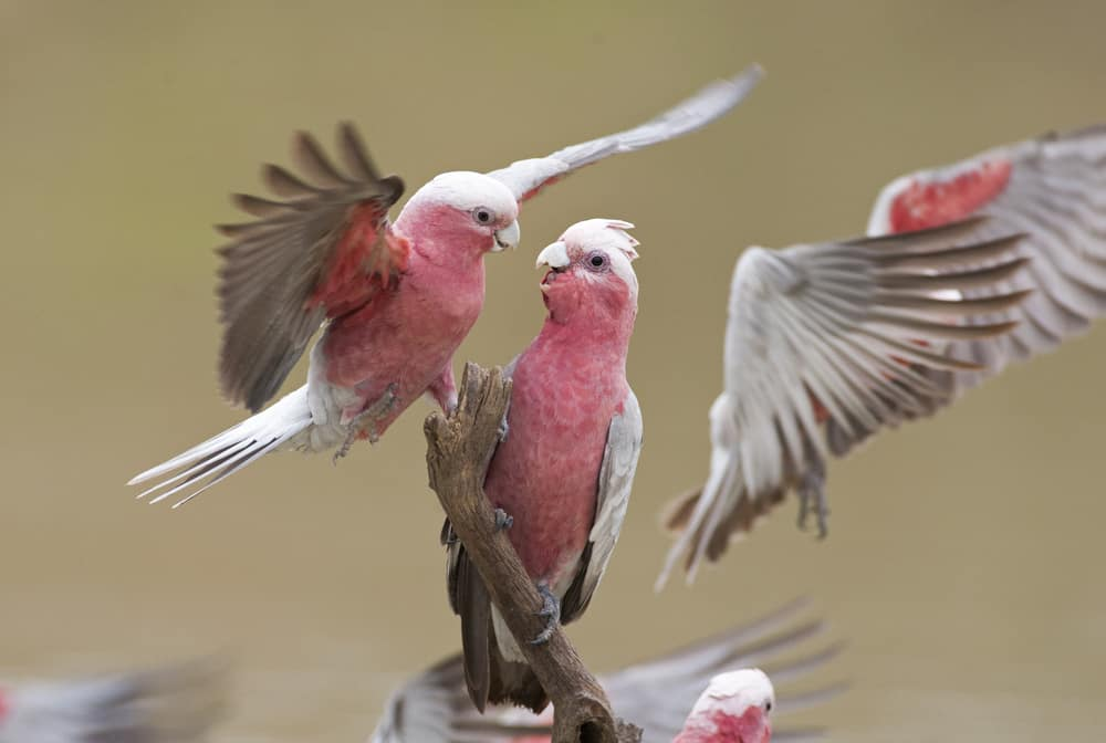 Galah - birds of Australia