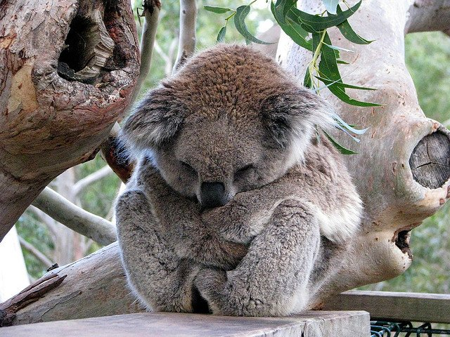 Australian animals, Koala on GlobalGrasshopper.com