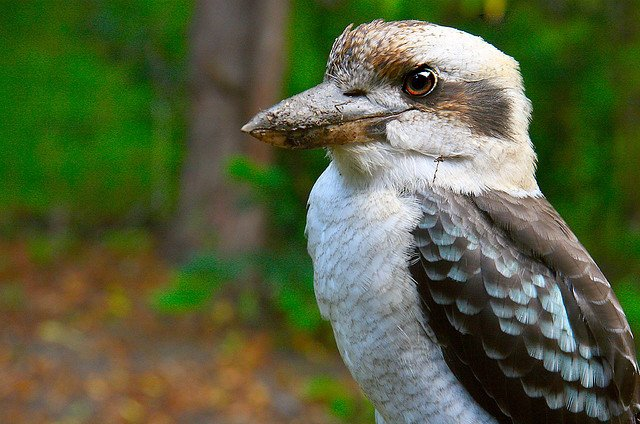 Australian animals, Kookaburra on GlobalGrasshopper.com