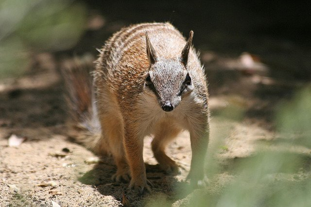 Australian animals, Numbat on GlobalGrasshopper.com
