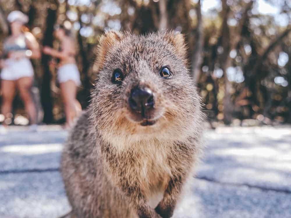 Quokka Australia