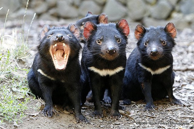 Australian animals, Tasmanian devil on GlobalGrasshopper.com