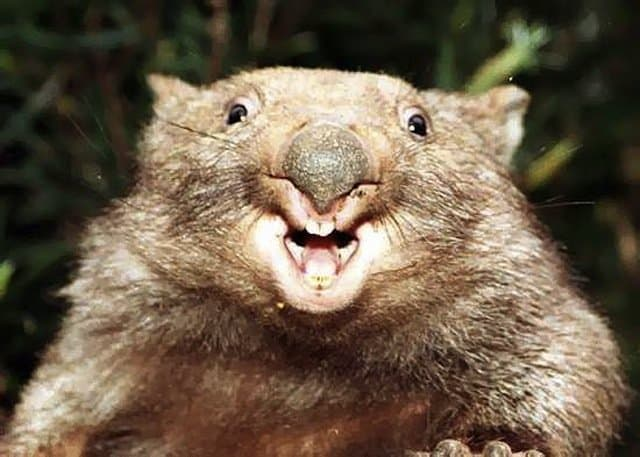Australian animals, Wombat on GlobalGrasshopper.com