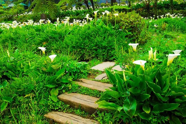 Garden of Calla Lilies in Taiwan by Little Girl Travels