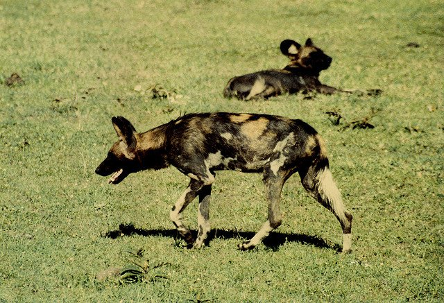 Safari in Kenya - Wild dogs on GlobalGrasshopper.com