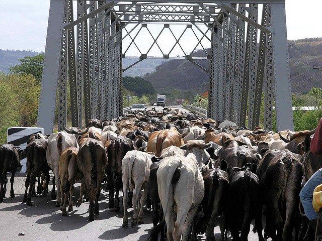 Nicaragua Cows on GlobalGrasshopper.com
