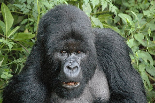 Silverback Gorilla - African Safari Adventure on GlobalGrasshopper.com