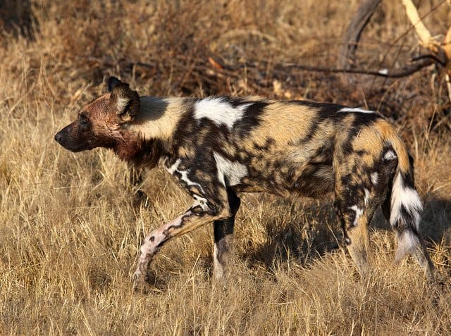Wild dog Botswana - African Safari Adventure on GlobalGrasshopper.com
