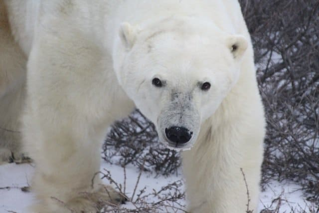 Visiting the polar bear capital of the world Global Grasshopper