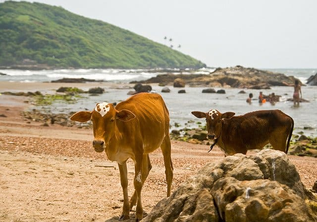 Cow Beach Goa - weird beaches on GlobalGrasshopper.com