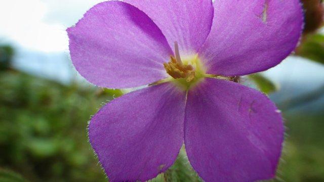 La Soufriere flower