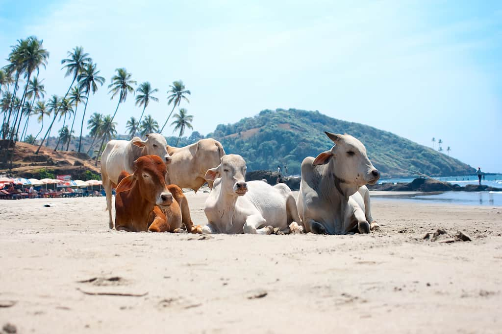 Cow Beach Goa