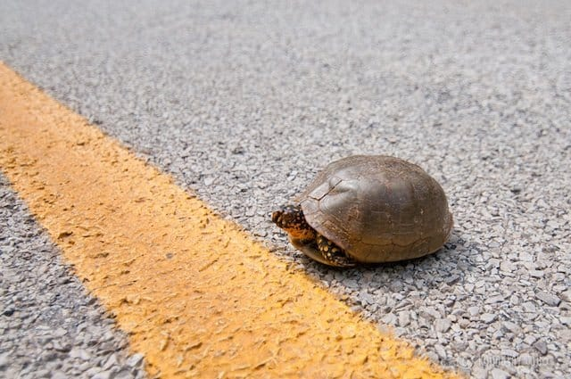 Rescue-Tortoise-Runaway Juno - travel blog competition on GlobalGrasshopper.com