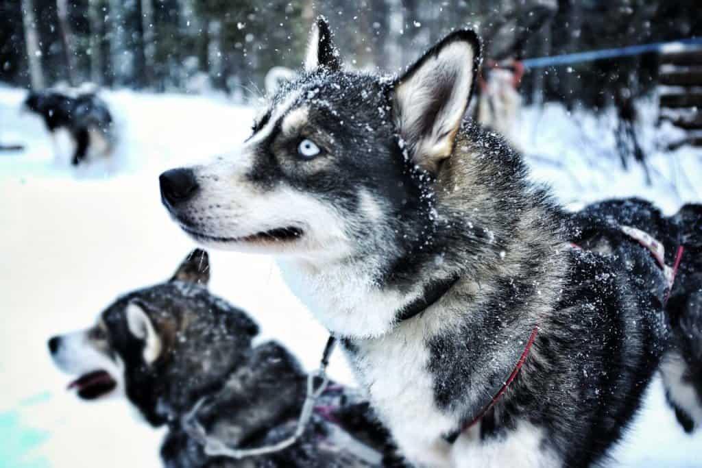 Blue Eyed Husky Finnish Lapland