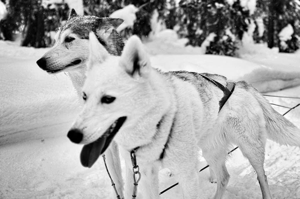 Huskies Finnish Lapland