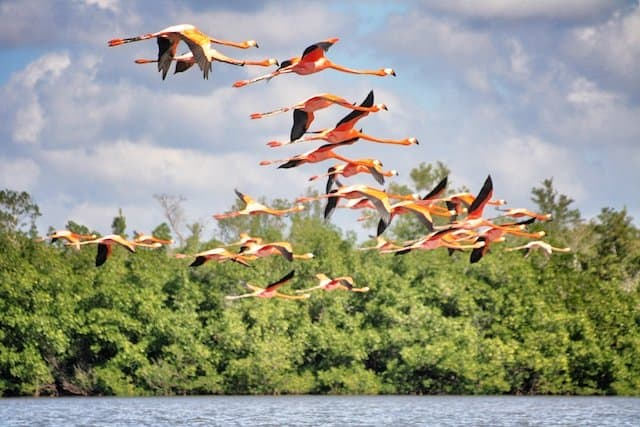 Flamingos Cuba