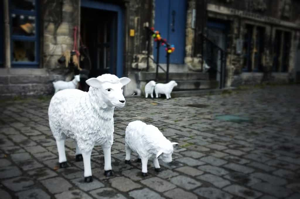 Ghent Sheep