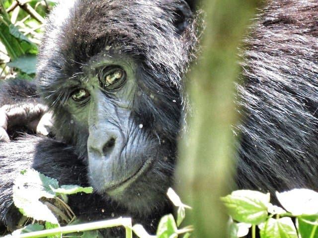 On the trail on mountain gorillas in Uganda Global Grasshopper