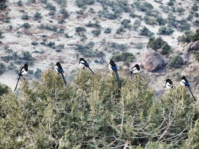 Magpies in Atlas Mountains