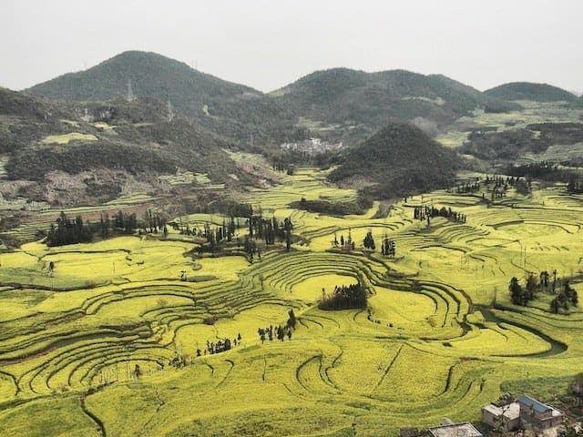 Yellow Canola Field at Luoping, Yunnan Province