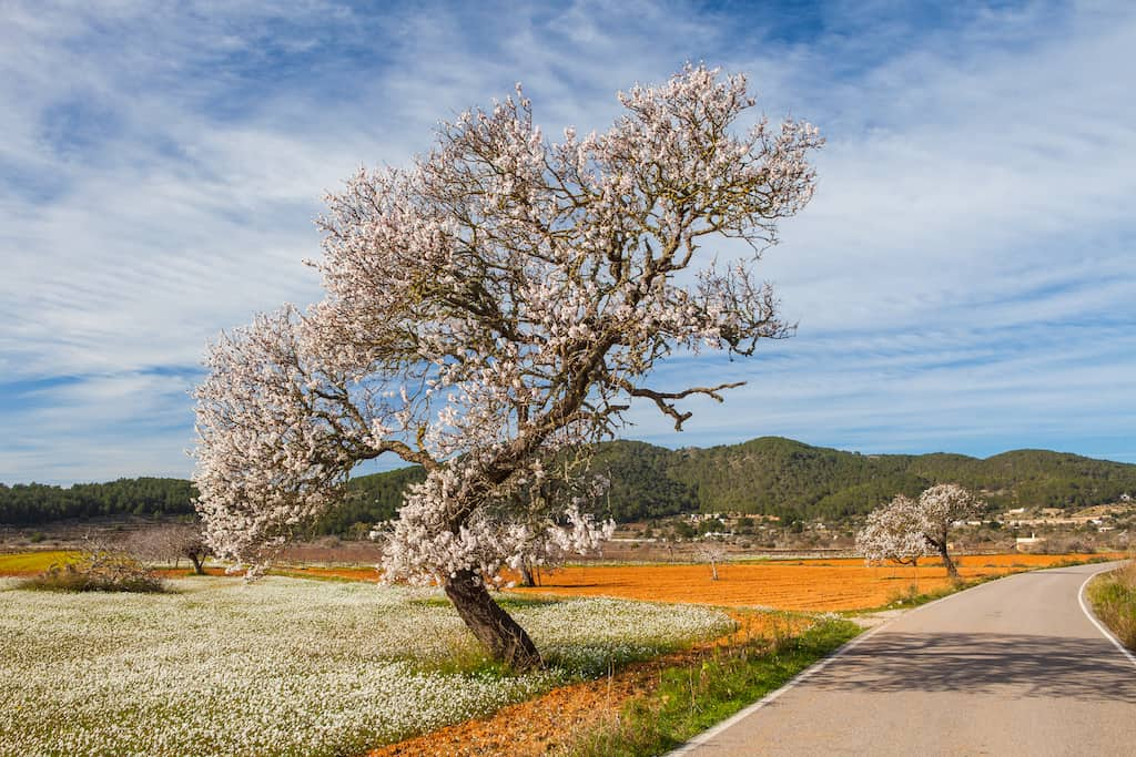Discovering the almond blossom route in Ibiza