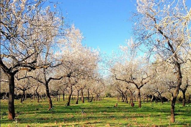 Ibiza-almond-blossom-route