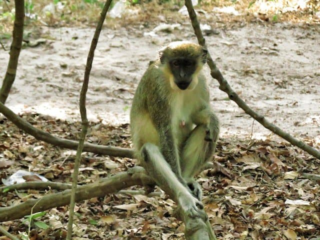 Monkeys in Gambia