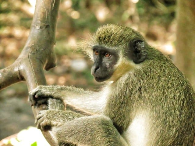A twitcher's paradise - bird (and monkey) watching in the Gambia