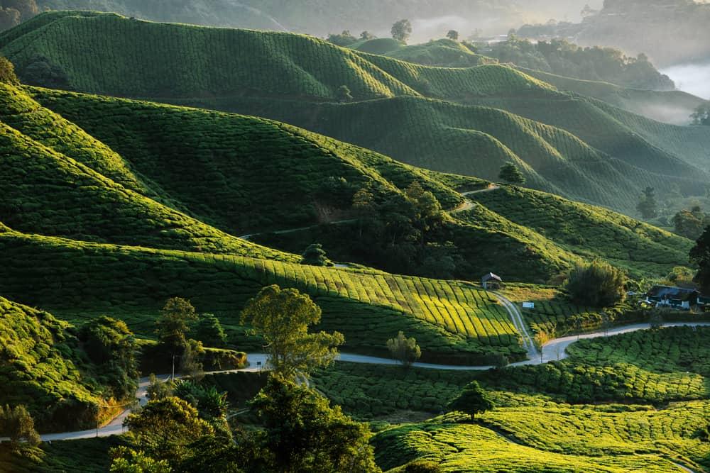 The Cameron Highlands Malaysia