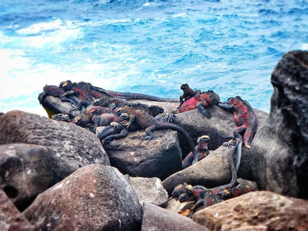 Iguana bundle Galapagos