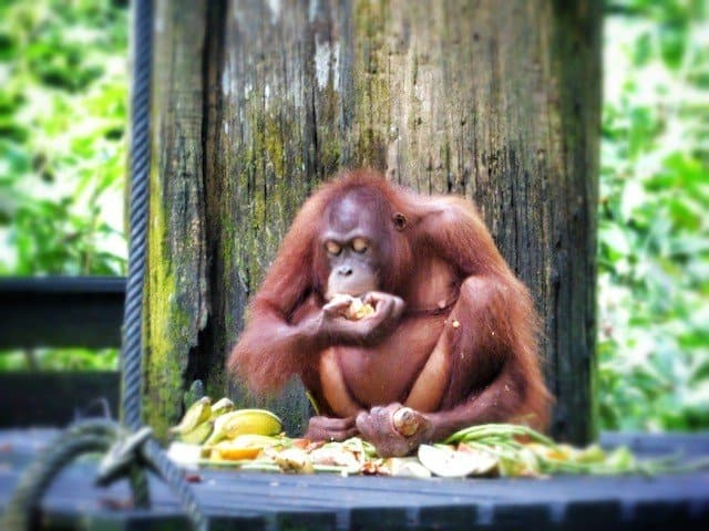 Up close with the endangered wildlife of Borneo: Sepilok Orangutan Rehabilitation Centre Global Grasshopper