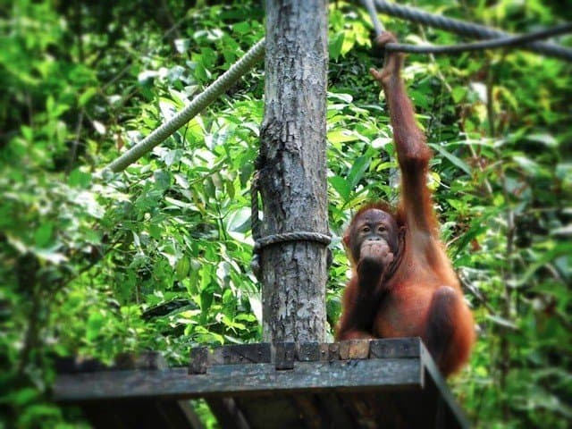 Sepilok orangutan sanctuary in Borneo