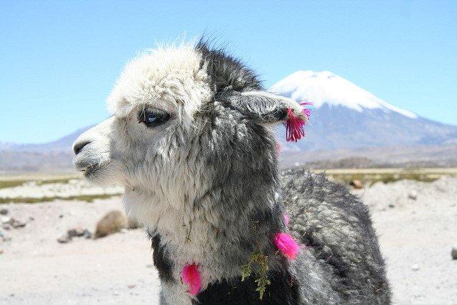 Alpaca in Chile