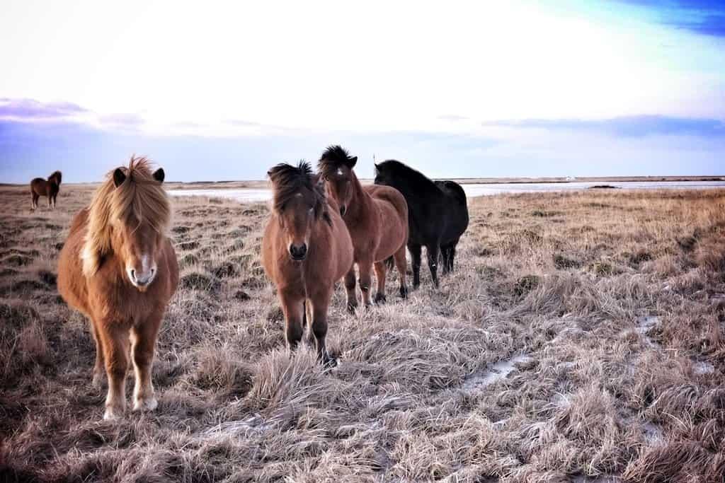 Icelandic Horses 1