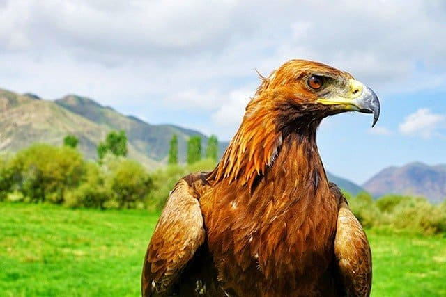 6. wildlife in Kyrgyzstan - eagle