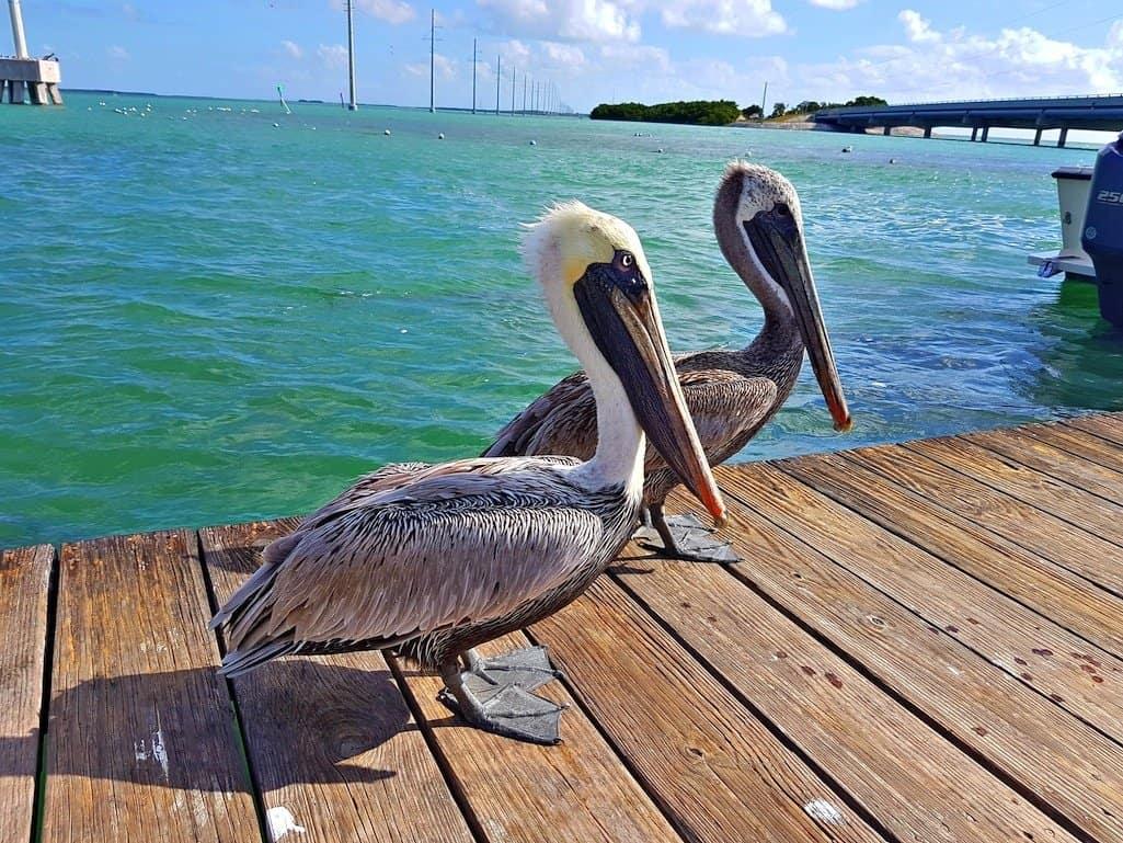 Florida Keys Pelicans
