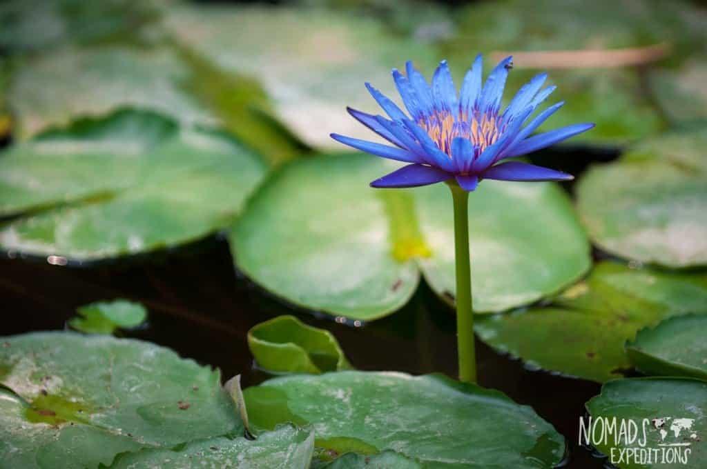 Bali lilypad