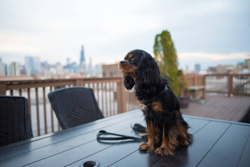 Top 15 dog friendly hotels in Chicago