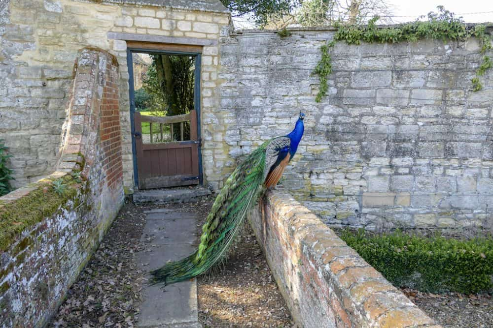 Peacock at Chicheley Hall, Buckinghamshire
